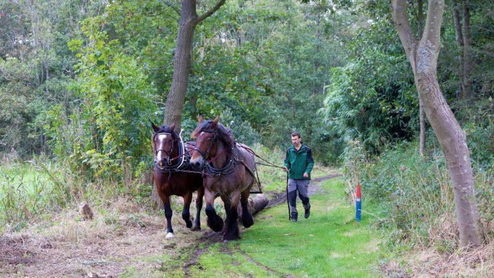 Paarden slepen met dikke boomstammen op Landgoed Keukenhof